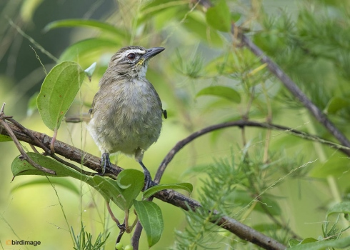 Witbrauwbuulbuul-White-browed-bulbul-04