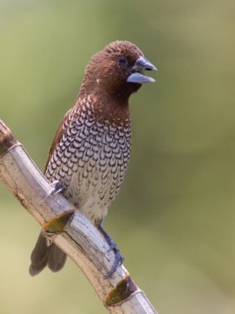 muskaatvink-scaly-breasted-munia-01