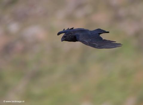 raaf-common-raven-05
