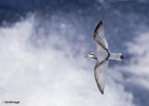 Antarctische prion_Antarctic Prion 02
