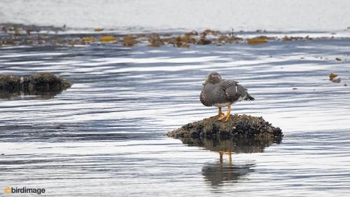 Vliegende booteend_Flying Steamer Duck 03