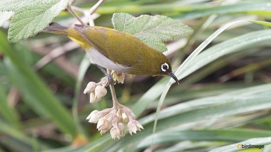 Ceylonese-brilvogel-Sri-Lanka-white-eye-01