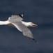 Geelpootmeeuw-Yellow-legged-Gull-05