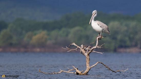 Kroeskoppelikaan - Dalmatian Pelican 02