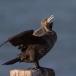 aalscholver-cormorant-01