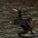 aalscholver-cormorant-03
