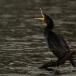 aalscholver-cormorant-04