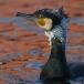 aalscholver-cormorant-13