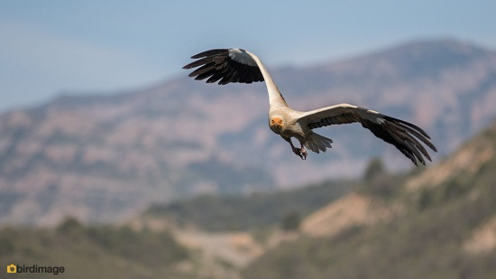 Aasgier Egyptian Vulture 01