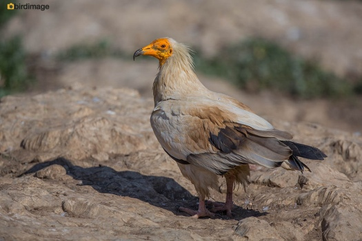 Aasgier Egyptian Vulture 10