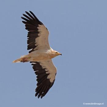 Aasgier Egyptian Vulture 15