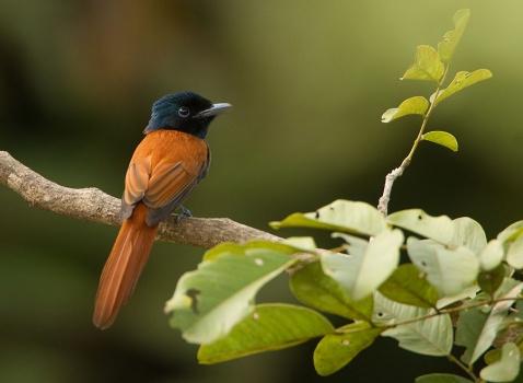 afrikaanse-paradijsmonarch-african-paradise-flycatcher-03