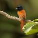 afrikaanse-paradijsmonarch-african-paradise-flycatcher-02