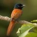 Afrikaanse Paradijsmonarch – African Paradise Flycatcher