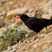 alpenkraai-red-billed-chough-02