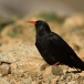 alpenkraai-red-billed-chough-04