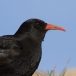 alpenkraai-red-billed-chough-05