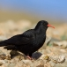 alpenkraai-red-billed-chough-06