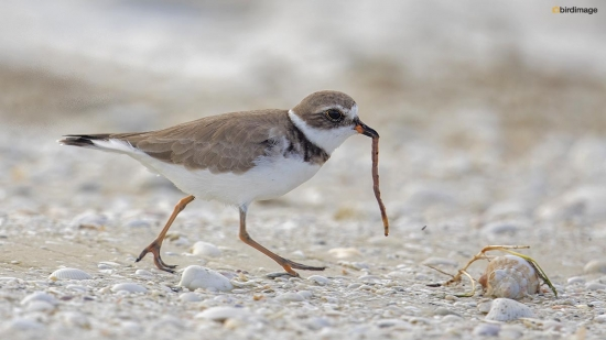 Amerikaanse bontbekplevier - Semipalmated Plover 007