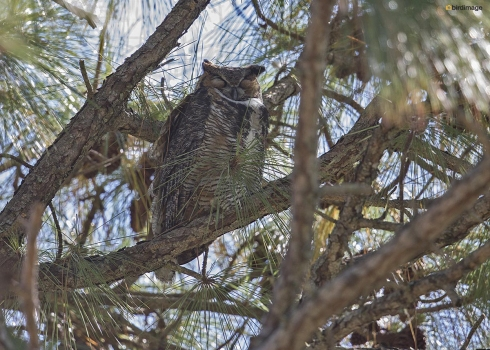 Amerikaanse oehoe - Great horned owl 001