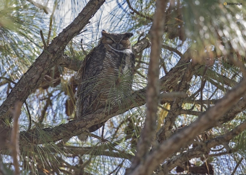 Amerikaanse oehoe - Great horned owl 001