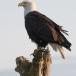 amerikaanse-zeearend-bald-eagle01