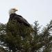 amerikaanse-zeearend-bald-eagle03