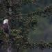 amerikaanse-zeearend-bald-eagle04
