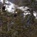 amerikaanse-zeearend-bald-eagle07