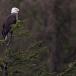 amerikaanse-zeearend-bald-eagle09