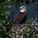 amerikaanse-zeearend-bald-eagle11