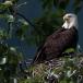amerikaanse-zeearend-bald-eagle12
