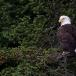 amerikaanse-zeearend-bald-eagle17