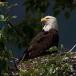 amerikaanse-zeearend-bald-eagle20