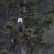 amerikaanse-zeearend-bald-eagle23