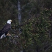 amerikaanse-zeearend-bald-eagle24