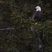 amerikaanse-zeearend-bald-eagle25