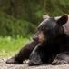 amerikaanse-zwarte-beer-american-black-bear-02