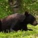 amerikaanse-zwarte-beer-american-black-bear-07