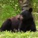 amerikaanse-zwarte-beer-american-black-bear-08