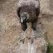 andescondor-andean-condor-02