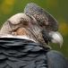 andescondor-andean-condor-03