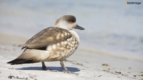 Andeseend_Crested Duck 02