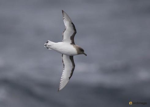 Antarctische Stormvogel_Antarctic Petrel 01