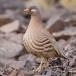 Arabische Woestijnpatrijs – Sand Partridge