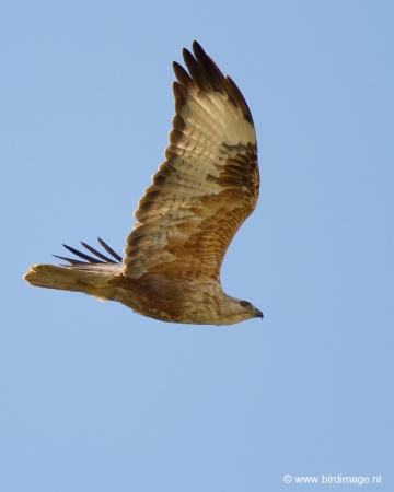 arendbuizerd-long-legged-buzzard-01
