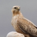 arendbuizerd-long-legged-buzzard-03
