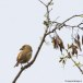 Atlaskruisbek - Red Crossbill Atlas 01
