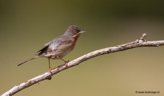baardgrasmus-subalpine-warbler-08