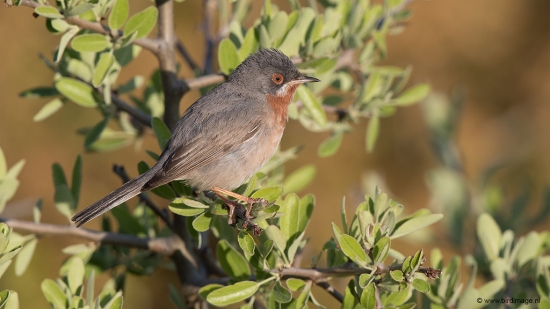 Baardgrasmus - Subalpine Warbler 09